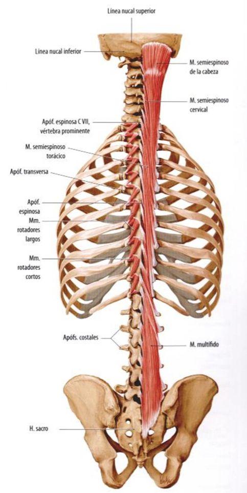 Imagen con más músculos paraverebrales para ver su conexión