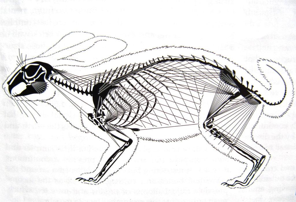 Estructura de tensegridad de un conejo